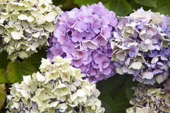 Purple hydrangeas with green background in Pico island. Azores. Stock Photo