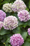 Purple hydrangeas with green background in Pico island. Azores. Stock Photos