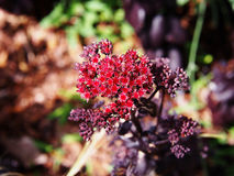Purple Hylotelephium spectabile - showy stonecrop. Hylotelephium spectabile  syn. Sedum spectabile, showy stonecrop Stock Images