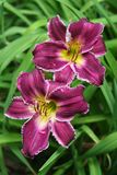 Purple Indian Giver daylily blooms in green foliage. These purple daylilies, with their white picotee edges and distinctive colorful throats and anthers Stock Photo