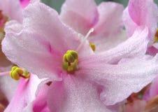 Purple inflorescence Stock Photography