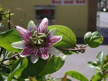 Passiflora purple flowers. Purple inflorescence and leaves of Passiflora climber plant stock photography