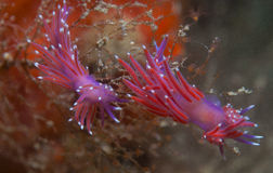 Purple invertebrate. A small purple invertebrate slips on the seabed Stock Photography
