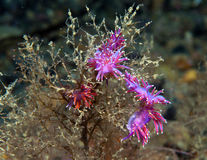 Purple invertebrate. A small purple invertebrate slips on the seabed stock photo