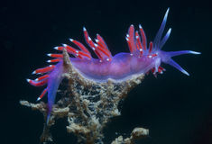 Purple invertebrate. A small purple invertebrate slips on the seabed Stock Images