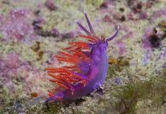 Purple invertebrate. A small purple invertebrate slips on the seabed Stock Image