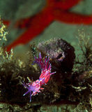 Purple invertebrate. A small purple invertebrate slips on the seabed Stock Photos