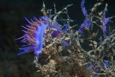 Purple invertebrate. A small purple invertebrate slips on the seabed Royalty Free Stock Photo