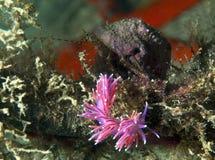 Purple invertebrate. A small purple invertebrate slips on the seabed Royalty Free Stock Image