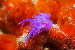 Purple invertebrate. A small purple invertebrate slips on the seabed Royalty Free Stock Photography
