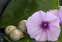 Purple  Ipomoea flower Stock Image