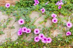 Purple Ipomoea pes-caprae Sweet. ( Ipomoea pes-caprae (L.) R.Br.) on old concrete stock photography