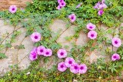 Purple Ipomoea pes-caprae Sweet Stock Photography