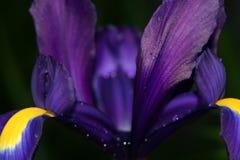 Purple Iris 1. Lovely purple iris after a brief spring shower Stock Image