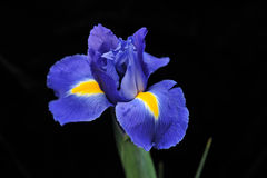 Purple iris Stock Photography