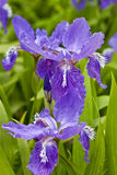 Purple iris stock photography