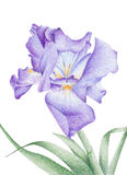 Purple Iris. With slightly open petals royalty free illustration