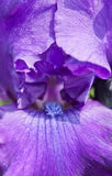 Purple Iris Stock Images
