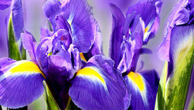 Purple iris Royalty Free Stock Images