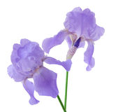 Purple Iris. Two purple iris flowers isolated on white background royalty free stock images