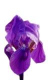 Purple Iris. Isolated on white Royalty Free Stock Photo