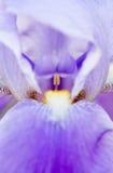 Purple Iris royalty free stock photos