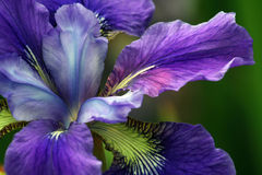 Purple Iris Royalty Free Stock Image