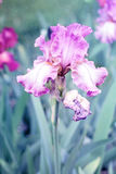 Purple iris. In botanical garden royalty free stock photo