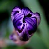 Purple Iris Bud royalty free stock photo