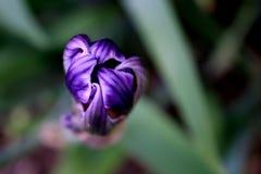 Purple Iris Bud Royalty Free Stock Images