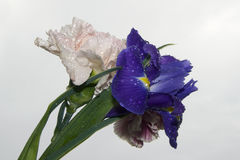 Purple iris and carnations Stock Images