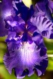 Purple Iris close Royalty Free Stock Photos