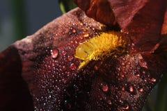 Purple iris close up Stock Images
