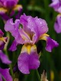 Purple iris cultivar. A garden purple iris cultivar, photographed in the rain Stock Images