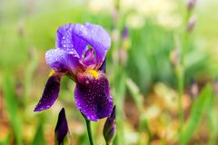Purple iris with drops of rain on a green background. _n royalty free stock photos