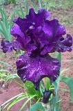 Purple Iris. Every gardener wants this beauty in the garden. This perennial ranks among the top most popular garden flower. Irises attract hummingbirds and Royalty Free Stock Photography