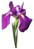 Purple iris flower. With dew drops on a white background Stock Photography