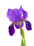 Purple  iris flower Stock Photography