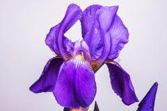 Purple Iris flower aka Flag -  over white background Royalty Free Stock Image