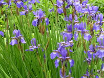 Purple Iris flower. Beautiful giant purple Iris in full bloom growing in a clump in the woods.  Profuse green pointed leaves and buds Royalty Free Stock Photography