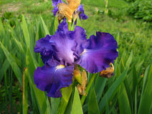 Purple iris flower in bloom Stock Photography