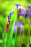 Purple iris flower bud Royalty Free Stock Photography