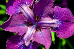 Purple iris flower close up Stock Photo