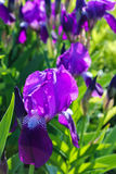 Purple iris flower. Garden purple iris flower and green foliage background Stock Images