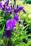 Purple iris flower. Garden purple iris flower and green foliage background Royalty Free Stock Photos