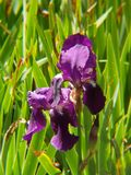 Purple iris flower in a garden. Nature and botany, natural flower with colorful petals for garden decoration royalty free stock photo