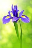 Purple iris flower Stock Image