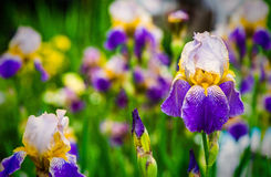 Purple iris flower on green background Stock Image