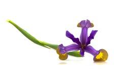 Purple Iris Flower (Iris Versicolor). Flowers & Plants - Beautiful purple iris flower (Iris Versicolor) isolated on white background Royalty Free Stock Image