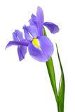 Purple iris flower Royalty Free Stock Photos